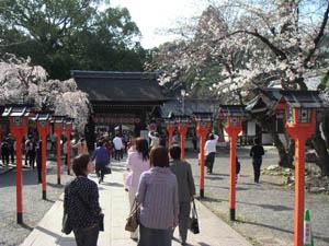 Sakura - körsbärsblom (foto: Börje Andersson)